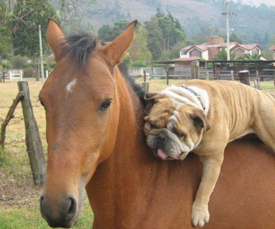 image cheval et chien